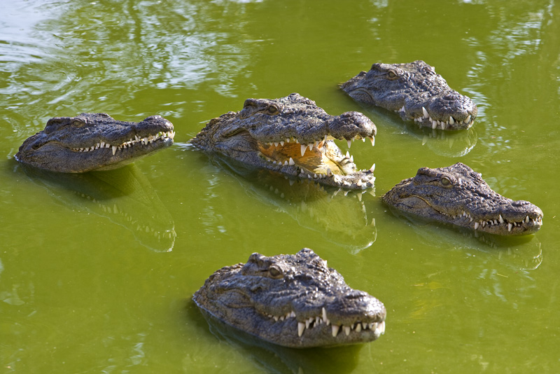 crocodjerba.jpg